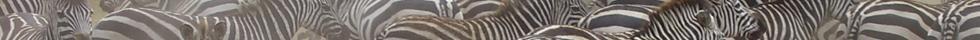 grijzelente zebra's tanzania