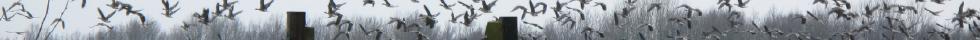 Grijzelente opvliegende ganzen in uiterwaarden